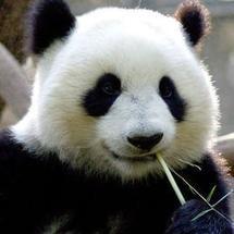 创客主题环境:大熊猫体温监测疾病预警系统